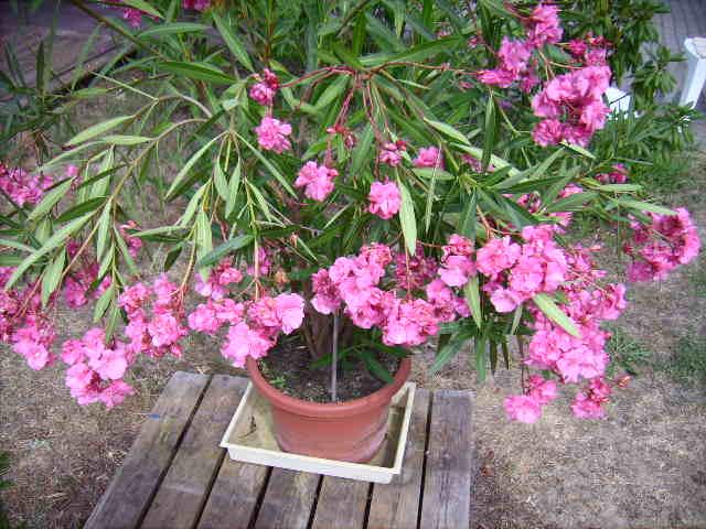 oleander als bl hfreudige k belpflanze helgas garten. Black Bedroom Furniture Sets. Home Design Ideas