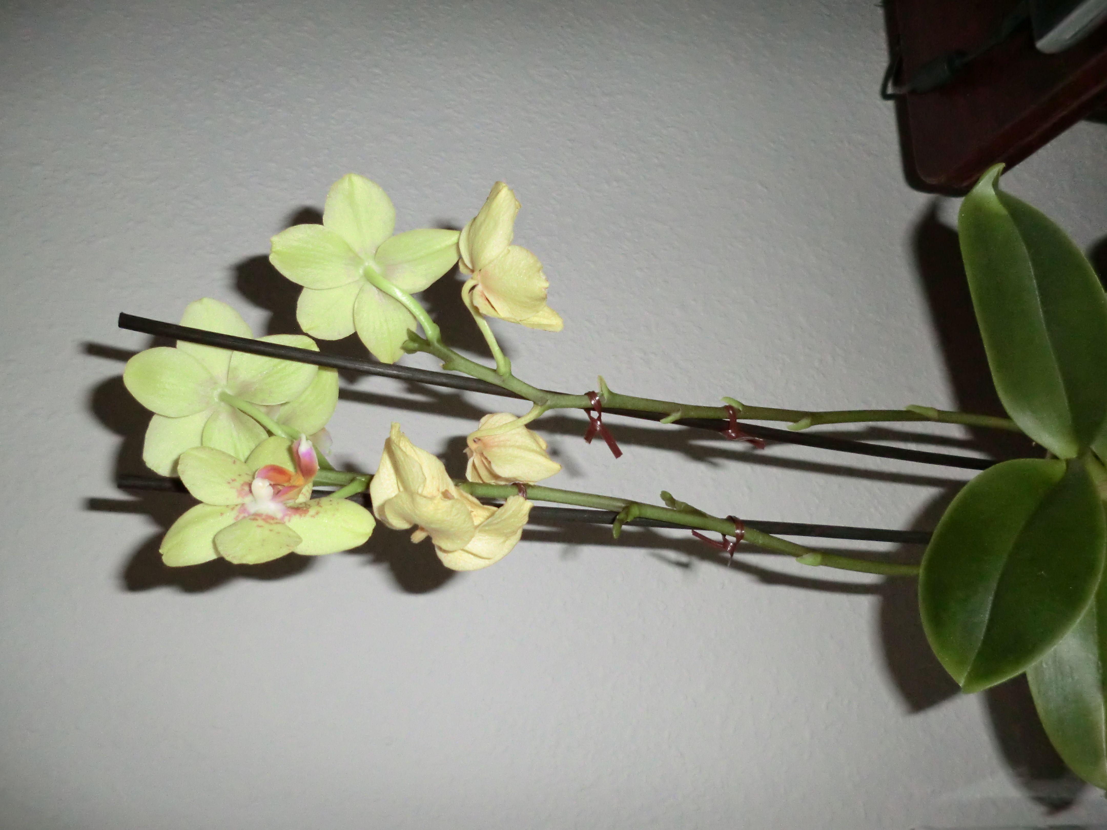 Orchideen mit zahlreichen bl ten helgas garten - Pflegeleichte zimmerpflanzen mit bluten ...