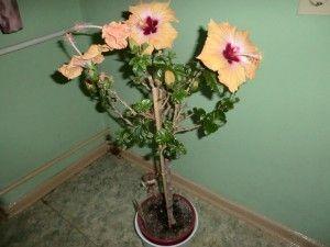 hibiskus als zimmer oder k belpflanze helgas garten. Black Bedroom Furniture Sets. Home Design Ideas