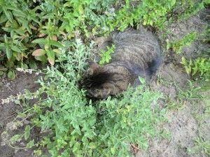 Katzenminze1