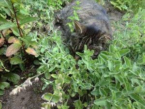 Katzenminze2