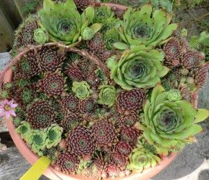 Sempervivum4