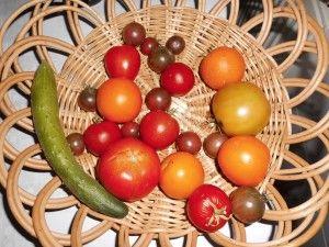 Tomatenrest