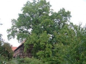 Tulpenbaum1