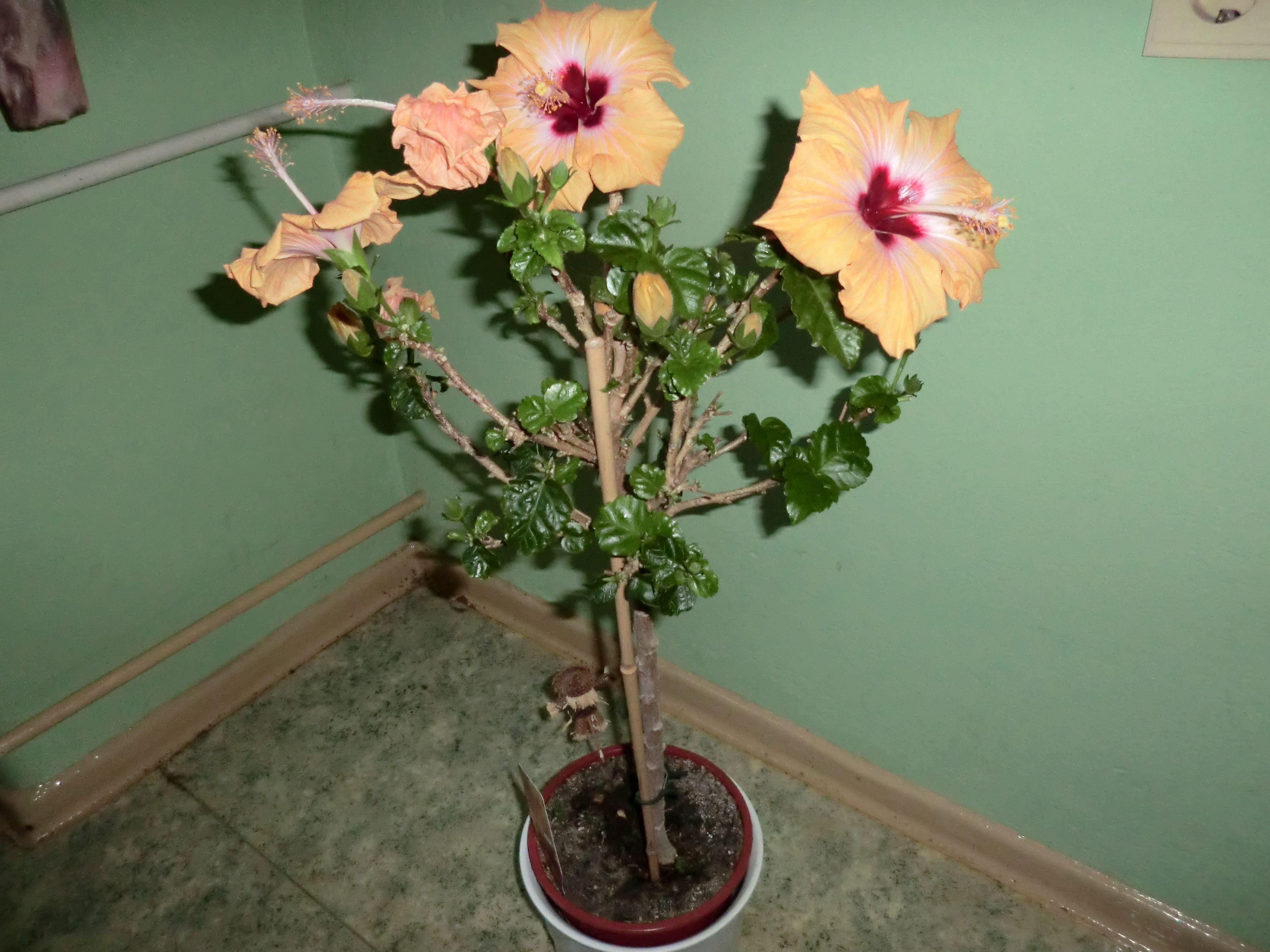 hibiskus berwintern helgas garten. Black Bedroom Furniture Sets. Home Design Ideas