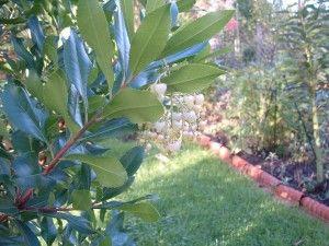 Erdbeerbaum2
