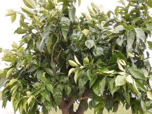 Zitruspflanze