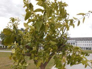 Zitruspflanze1