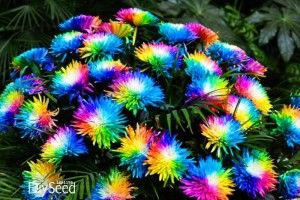 Regenbogen,blühend