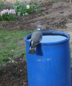 Taube,Wasserfass