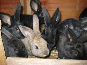 Kaninchengeschw